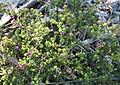 Acmadenia heterophylla - aromatic all-year-flowering buchu - Cape Town.jpg