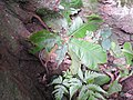 Acrotrema agastyamalanum-1-chemungi hill-kerala-India.jpg