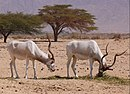 Addax-1-Zachi-Evenor