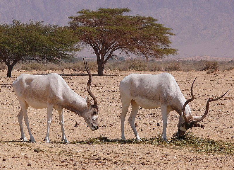 https://upload.wikimedia.org/wikipedia/commons/thumb/3/31/Addax-1-Zachi-Evenor.jpg/800px-Addax-1-Zachi-Evenor.jpg