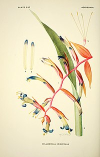 Addisonia - colored illustrations and popular descriptions of plants (1916-(1964)) (16585436610).jpg