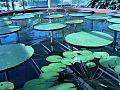 Adelaide botanic gardens.jpg