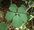 Adenia fruticosa 01 ies.jpg