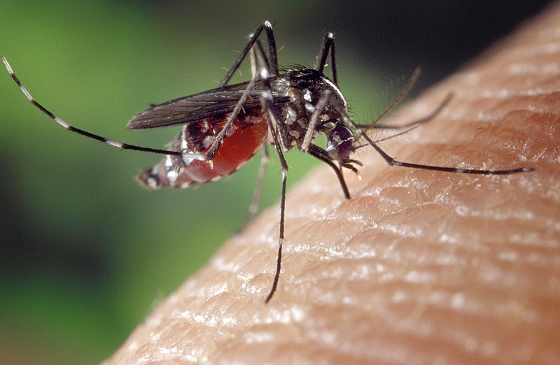 Bestand:Aedes albopictus on human skin.jpg