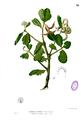 Aegiceras corniculatum Blanco1.38.png