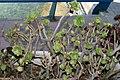 Aeonium arboreum in Mallorca.jpg