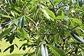 Aesculus pavia-IMG 8879.JPG