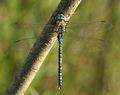 Aeshna-affinis-male-top-www.jpg