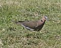 African Mourning Dove (Streptopelia decipiens) on grass.jpg