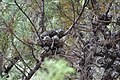 Again, here we see the cones opening without fire, while still attached to a living tree. - Flickr - theforestprimeval.jpg
