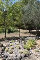 Agave geminiflora002.JPG