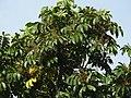 Aglaia spectabilis flowering2427.jpg