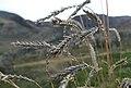 Agropyron cristatum 2.jpg