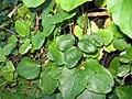 Akebia trifoliata (Thunb.) Koidz (AM AK305229-1).jpg