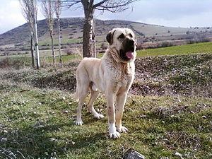 Mastiff - Image: Aksaray malaklisi beto