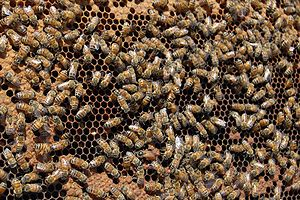 Worker policing - Worker policing is found in honey bees and other hymenopterans including some species of bumblebees, ants and wasps.