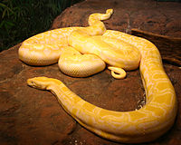 Albino burmese pythons.jpg