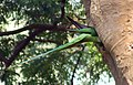 Alexandrine Parakeet- Male at nest Im IMG 5869.jpg