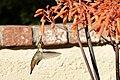 Allen's Hummingbird (33587007228).jpg