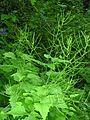 Alliaria petiolata 4 (5097818108).jpg