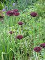 Allium atropurpureum (9066996806).jpg