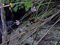 Allium canadense - Wild Onion.jpg