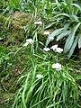 Allium neapolitanum001.jpg