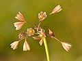 Allium oleraceum inflorescence - Keila.jpg