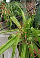 Aloe lomatophylloides IMG 2700.jpg