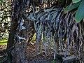 Aloe speciosa, Victoria Esplanade Park (4).jpg