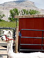 Alpaca Farm Tours Palisade Colorado USA.JPG