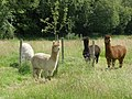 Alpacas, near Blackwater - geograph.org.uk - 1377256.jpg