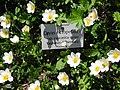 Alpengarten Schachen Silberwurz Foto M.Kandler 2012-06-30.jpg