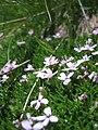 Alpine Flowers - Silene acaulis - 004.jpg