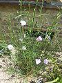 Alyogyne huegelii x A. hakeifolia (Malvaceae) plant.JPG