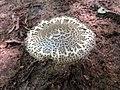 Amanita onusta - Flickr - treegrow (3).jpg