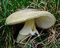 Amanita phalloides - Death Cap (15375669013).jpg