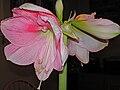 Amaryllis belladonna2008.jpg