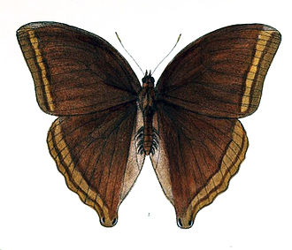 Centuria Insectorum - Amathusia phidippus, named in Centuria Insectorum as Papilio phidippus