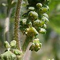 Ambrosia artemisiifolia male flowers.jpg