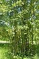 Amelanchier spicata kz1.jpg
