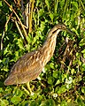 American Bittern at Lake Woodruff - Flickr - Andrea Westmoreland (1).jpg