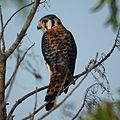American Kestrel in Antigua (4806068970).jpg
