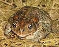 American Toad Image 006.jpg