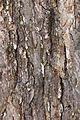 American elm (24782030130).jpg