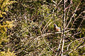 American robin (24371861074).jpg