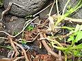 Ammi trifoliatum (Base).jpg