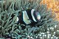 Amphiprion latezonatus RLS.jpg