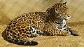 Amur leopard01 960.jpg