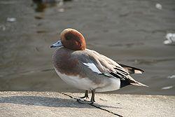 Un canard siffleur mâle